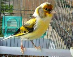 Canari Canary Birds, Goldfinch, Pigeon, Beautiful Birds, Pet Birds, Reptiles, Parrot, Facebook, Twitter