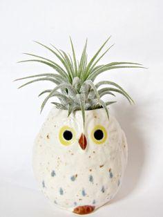 Owl, air plant