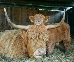 We've gathered our favorite ideas for Heilan Coos Cuteness Cute Animals Baby Animals Animals Explore our list of popular images of Heilan Coos Cuteness Cute Animals Baby Animals Animals. Cute Baby Animals, Farm Animals, Animals And Pets, Funny Animals, Wild Animals, Scottish Highland Cow, Highland Cattle, Mini Highland Cow, Beautiful Creatures