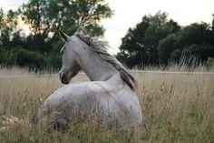 Un cheval couché