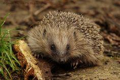 Hedgehog - British Wildlife Centre - England