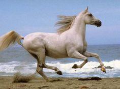 L'Arabe - Un cheval Arabe au galop sur la plage
