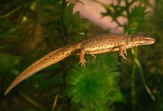 Palmate Newt is a small newt species mainly found in Western Europe. These newts are protected by various laws in the countries they exist. Animals Of The World, Animals And Pets, Cute Animals, Big Iguana, Vader Star Wars, Axolotl, Crocodiles, Reptiles And Amphibians, Amphibians