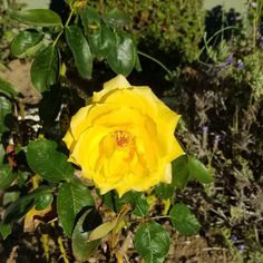 The last yellow rose of the year. Enjoy!  #fall