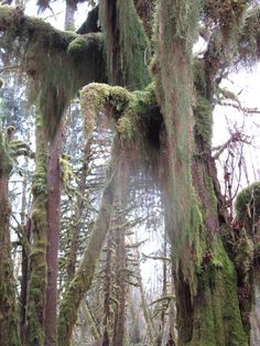 Quinault rain forest Growing Moss, Moss Garden, Beautiful Forest, Forests, Evergreen, Woods, Around The Worlds, Places, Woodland Forest