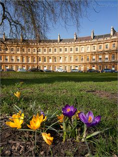 Crocuses, The Circus, Bath, Somerset, England (and the trees which survived a WWII bomb blast)