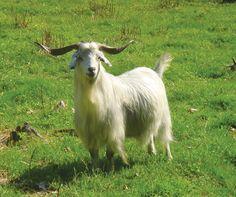 Kiko Goats | Cashmere goat breed