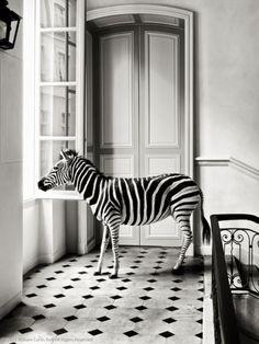 Deyrolle Zebra Composition The post Deyrolle Zebra Composition appeared first on Fotografie. Black N White, Black And White Pictures, White Zebra, Zebras, Giraffes, Shades Of Grey, Zebra Print, Belle Photo, Animal Photography