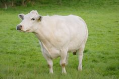 gwartheg y llyn- white Welsh fairy cattle. produced the milk and cheese that fairies liked to eat