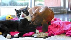 Dachshund and Disabled Cat Are Inseparable Friends