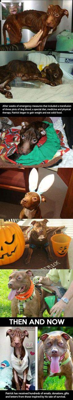 Pitbull-dog-malnourished-before-after