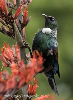 Tui (Prosthemadera novaeseelandiae) in Flax Most Beautiful Birds, Beautiful Pictures, Reptiles And Amphibians, Mammals, Tui Bird, Polynesian Art, Nz Art, Flower Bird, Little Birds