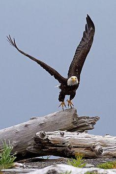 viaflickr.com Bald Eagle, Katmai National Park - Alaska by Caroline C. ❦ Bald Eagle, Katmai National Park - Alaska