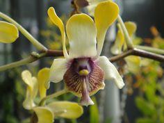 orchid - Dendrobium violaceoflavens J.J. Smith