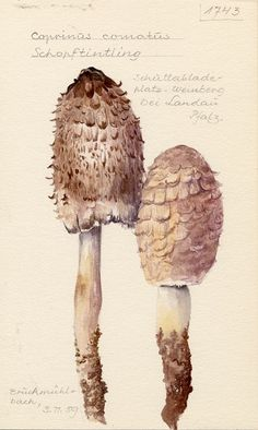 Water Colours of Fungi by Fritz Wohlfarth
