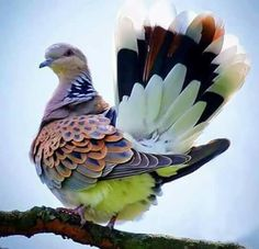 Exquisite dove