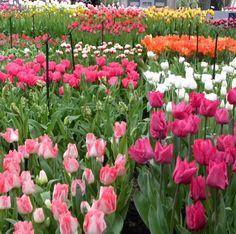 Keukenhof Gardens in the Netherlands