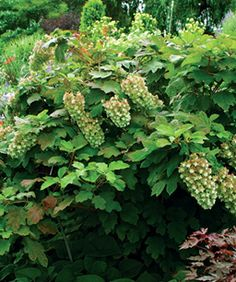10 Shrubs For Summer Color. Shade ShrubsShade PlantsGarden ...