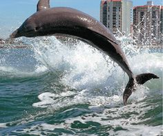 Dolphin in Clearwater, Florida....