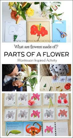 Montessori inspired parts of a flower activities #preschool #plants #homeschool