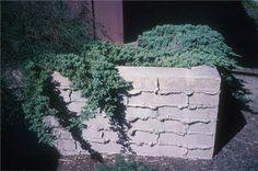 "Juniperus procumbens 'Nana'                (Dwarf Japanese Garden Juniper)  Water Use:  Low    Size:  8"" – 12"" x 4' – 5'   Sun:  Full Sun   CA Native:  No             Deer Resistant:  Rarely damaged   Wildlife Value:  None"