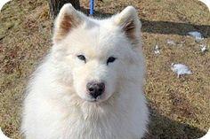 2/25/14: Staten Island, NY - Samoyed Mix. Meet WARLOCK a Dog for Adoption.