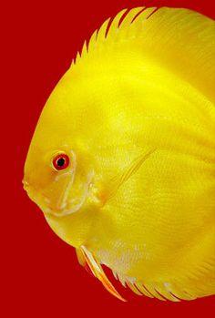 gold-discus-fish-i6.jpg (247×366)