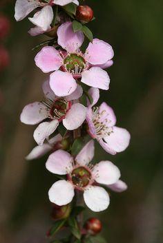 Leptospermum sp. | Flickr - Photo Sharing!