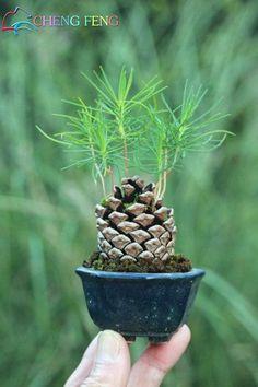 Resultado de imagem para japanese black pine cone