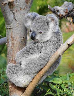 Gummy the koala joey by Paula~Koala