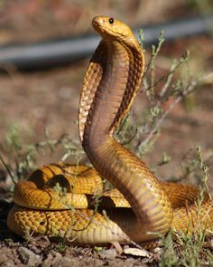 Cape Cobra caught in the town of Montagu, South Africa. Anime Animals, Cute Animals, King Cobra Snake, Snake Photos, Wild Kratts, Snake Venom, Demon Art, Reptiles And Amphibians, Snakes