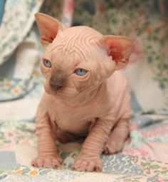 Baby Sphynx * * I wuz already tolds....I yam nevers gonna haz any fur. Ands cuz I don'ts like soap, der's no need to rub it it me face.""