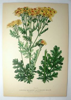 Vintage Botanical Print...[looks like 'tansie'...pulled 'a lot' of it as a kid...cows would eat 'it'...and die...dr]