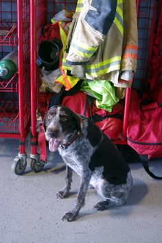 Photos of our Firehouse dogs, who double as our Firehouse Mascots. Firefighter Pictures, Greta, Fort Myers, Fire Department, This Is Us, Dogs, Animals, Fire Dept, Animales