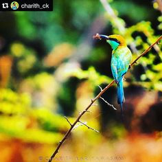 Breath taking shot by @charith_ck with reposted by @stockphotolk  Share your photographs with #stockphotolk Sign up on www.stockphoto.lk for free and convert your creativity into revenue! .  Blue-tailed Bee Eater Wilpattu National Park Sri Lanka  #srilanka #travel #travelgram #exploresrilanka #primeshots #jaw_dropping_shots #photooftheday #igersoftheday #instalike #instafollow #l4l #bestoftheday #tagsforlikes #wilderness #wildlife #wildlifephotography #nature #birdwatching #birdsofinstagram…