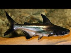 The Iridescent Shark is also known as the Pangasius Catfish, the Sutchi Catfish and the Striped Catfish. Contact for any further interaction Fish Lovers What. Amphibians, Reptiles, River Fish, African Cichlids, Exotic Fish, Freshwater Fish, Catfish, Aquarium Fish, Fish Tank