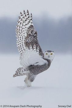 Superb Nature - beautiful-wildlife: Snowy Owl by Prince Nature Animals, Animals And Pets, Cute Animals, Wild Animals, Funny Animals, Beautiful Owl, Animals Beautiful, Beautiful Pictures, Owl Pictures
