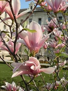 Spring flowers this, I think is a tree..Tulip Magnolia