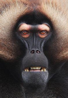 El gelada (Theropithecus gelada) es una especie de primate catarrino de la familia Cercopithecidae endémica de las tierras altas de Etiopía.Los geladas pesan entre 13 y 20 kilogramos, y al igual que los babuinos, son terrestres y pasan el tiempo alimentándose en las praderas.by Steve McCay