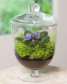 Mini African violet terrarium