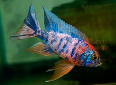 OB Hybrid Tropical Aquarium, Tropical Fish, Aquarium Fish, Malawi Cichlids, African Cichlids, Beautiful Fish, Animals Beautiful, Australian Rainbow Fish, Betta Fish