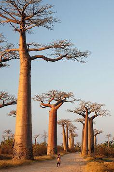 Baobab (Adansonia Digitata). © Inaki Caperochipi Photography