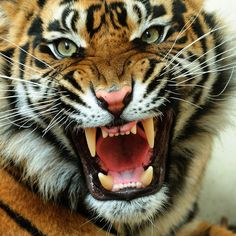 Discovered by Find images and videos about animal, wild and tiger on We Heart It - the app to get lost in what you love. Wild Animals Pictures, Tiger Pictures, Animal Pictures, Animals And Pets, Cute Animals, Angry Tiger, Tiger Roaring, Tiger Art, Tiger Tiger