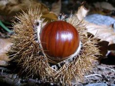 Chestnut  Additional Common Names:  American Chestnut