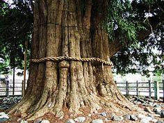 1000 years' tree,kaya