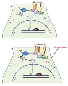 Figure 1 from Epigenetic Effect of Chronic Stress on Dopamine Signaling and Depression published in Genetics & Epigenetics http://www.la-press.com/epigenetic-effect-of-chronic-stress-on-dopamine-signaling-and-depressi-article-a3529