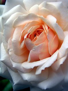 ♥ Peaches and Cream Rose