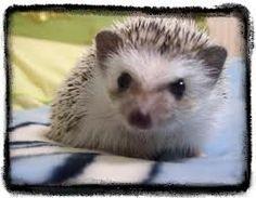 a sweet hedgehog...looks a bit like a kitty
