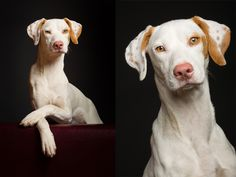Hundefotografie im Studio - Fotografie Elke Vogelsang, Hildesheim