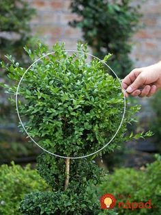 Topiaries HGTV Gardens offers easy instructions on the types of shrubs that work well and the best way to topiary.HGTV Gardens offers easy instructions on the types of shrubs that work well and the best way to topiary. Boxwood Landscaping, Boxwood Garden, Topiary Garden, Topiary Trees, Garden Shrubs, Front Yard Landscaping, Garden Planters, Boxwood Hedge, Boxwood Topiary